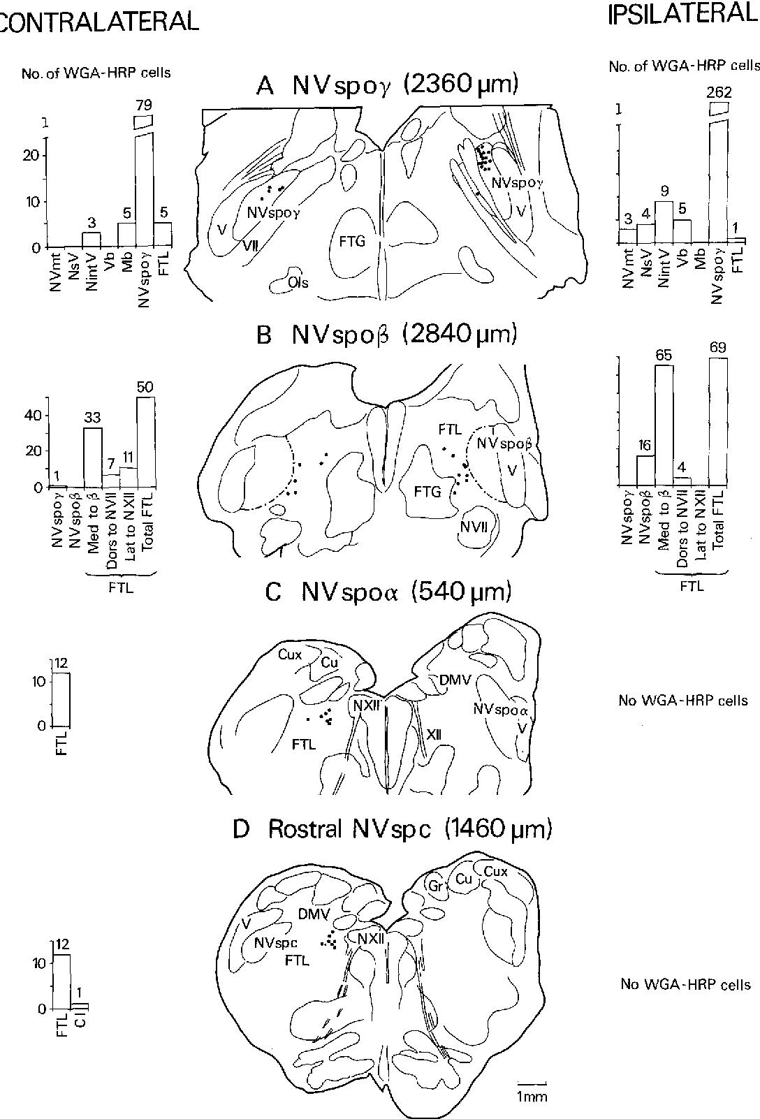 Trigeminal Motor Nucleus