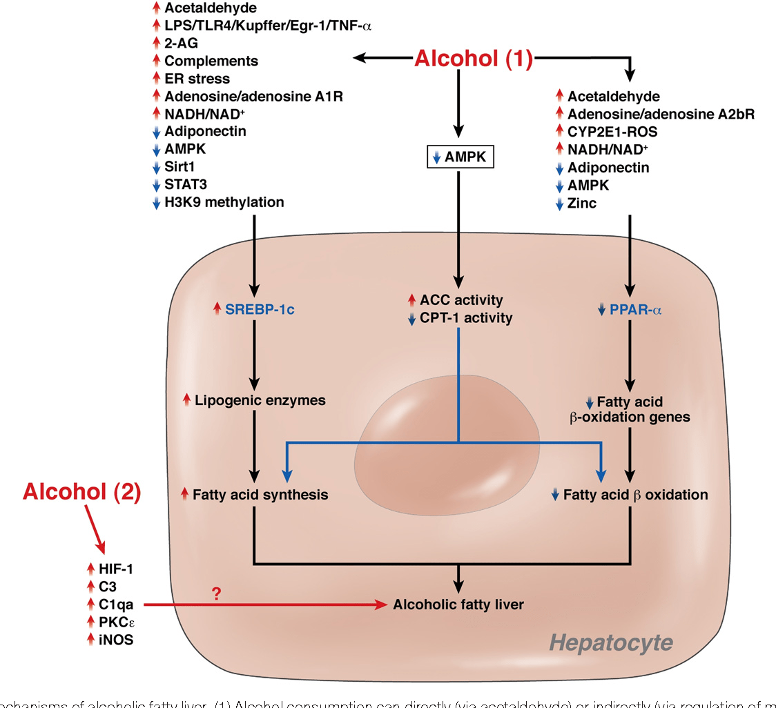 hight resolution of mechanisms of alcoholic fatty liver 1 alcohol consumption c p