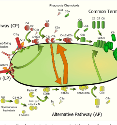 pertussis cell diagram wiring diagram complement evasion by bordetella pertussis implications forpertussis cell diagram 12 [ 1228 x 816 Pixel ]