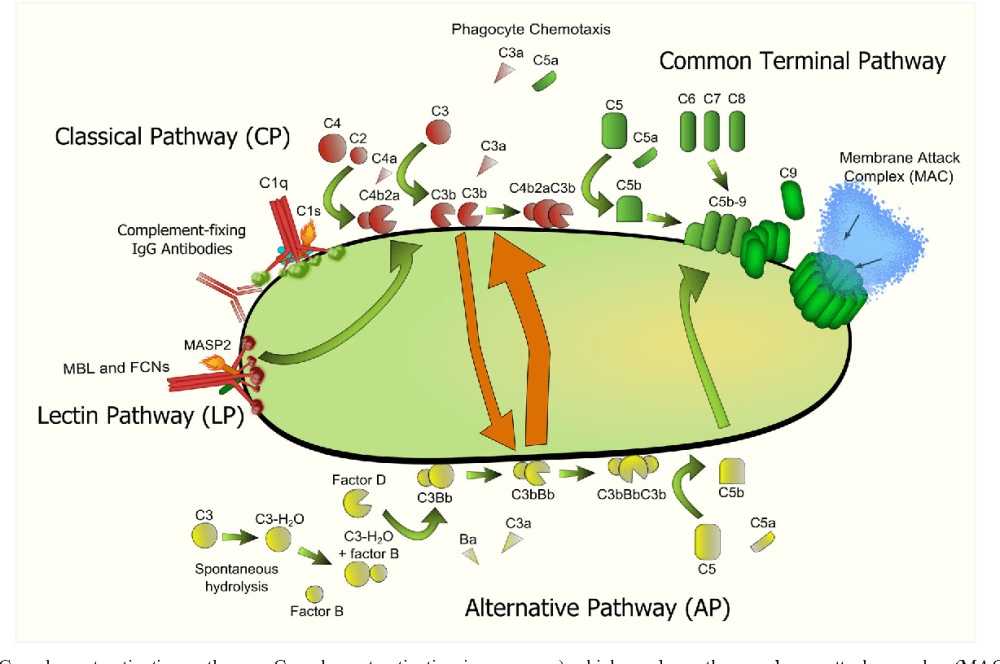 medium resolution of pertussis cell diagram wiring diagram complement evasion by bordetella pertussis implications forpertussis cell diagram 12