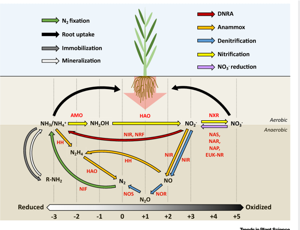 medium resolution of the soil nitrogen cycle a schematic overview of the major n transformations