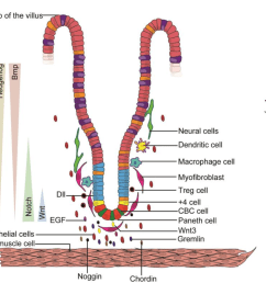 diagram of the regulatory niche of intestinal stem cells the stem cell [ 1350 x 796 Pixel ]