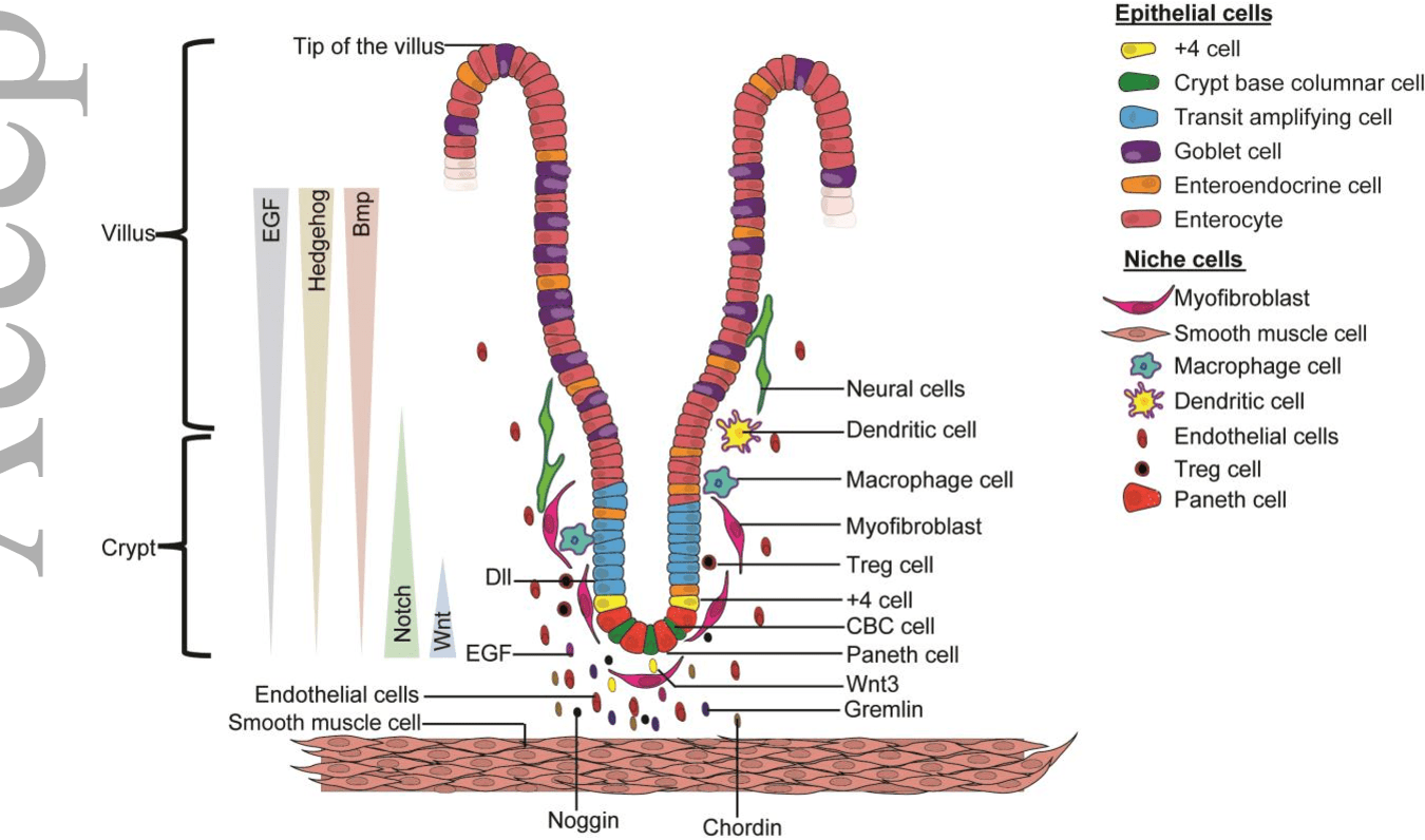 hight resolution of diagram of the regulatory niche of intestinal stem cells the stem cell