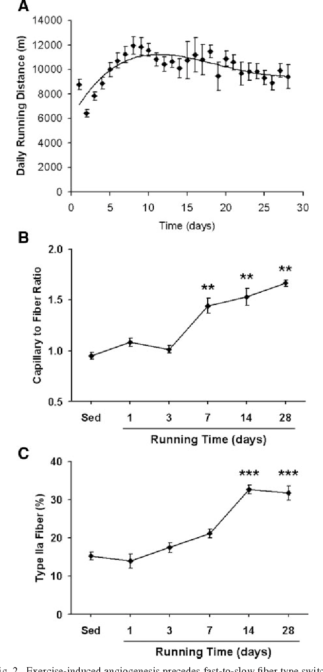 mouse skeletal diagram tekonsha primus iq trailer brake controller wiring figure 2 from angiogenesis in muscle voluntary fig exercise induced precedes fast to slow fiber type
