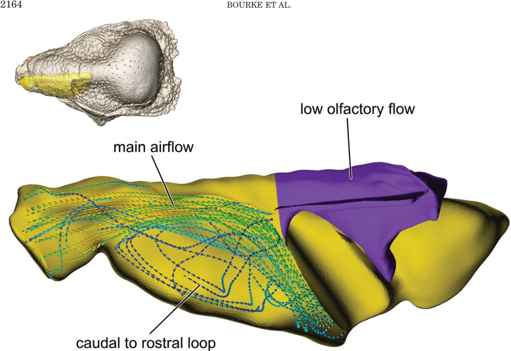 medium resolution of fig 12 dorsal view of bony bounded airway in s validum