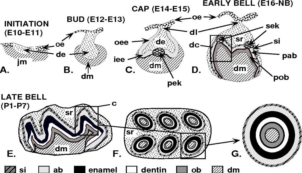 medium resolution of schematic representation of different stages of mouse tooth development until completion of
