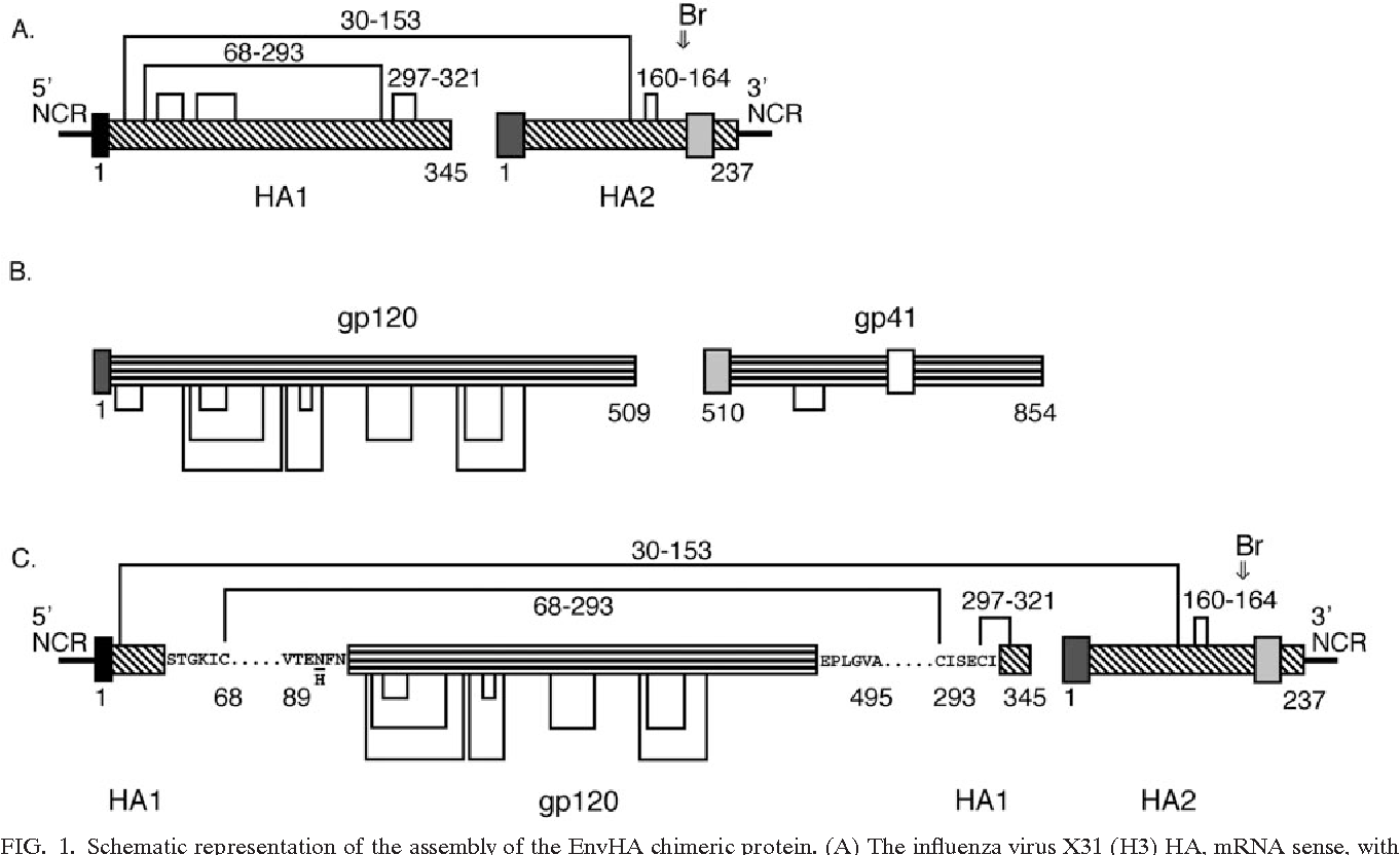 hight resolution of schematic representation of the assembly of the envha chimeric protein