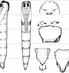 metalimnobia bifasciata schr female pupa 1 [ 1312 x 1286 Pixel ]