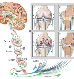 figure 2 this figure illustrates how the knee can engage the nervous system to give rise [ 1342 x 1120 Pixel ]