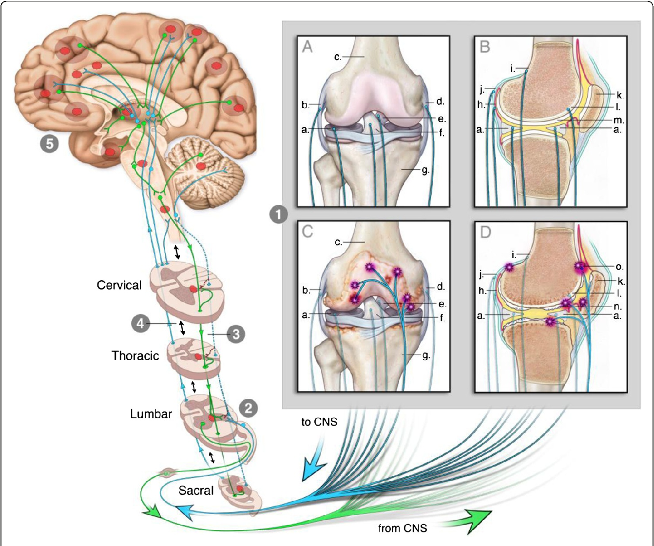 hight resolution of figure 2 this figure illustrates how the knee can engage the nervous system to give rise