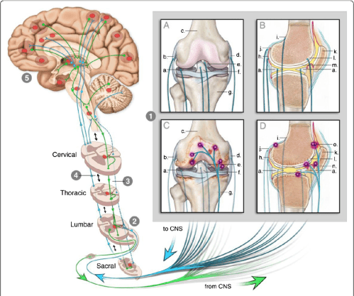 small resolution of figure 2 this figure illustrates how the knee can engage the nervous system to give rise