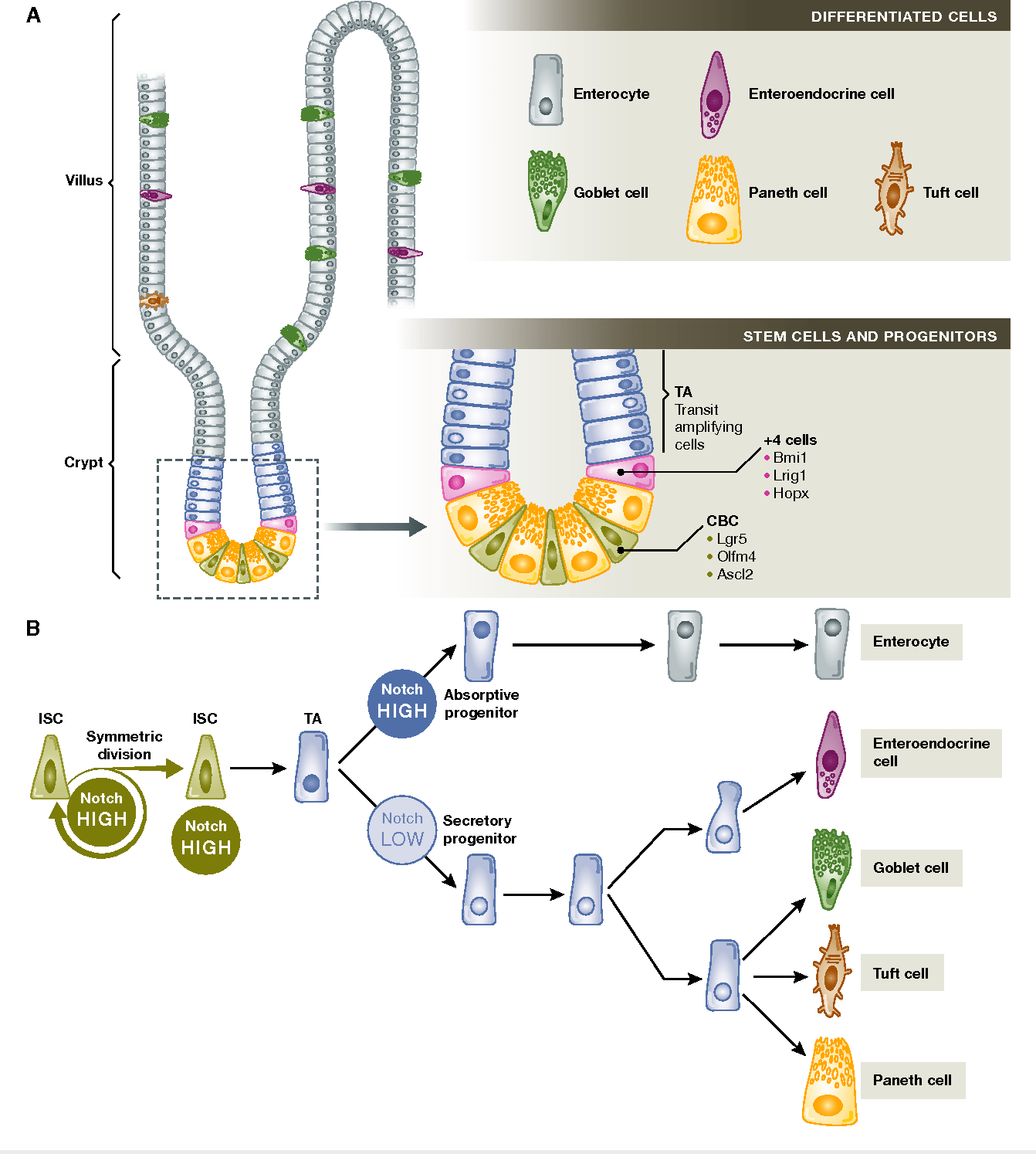 hight resolution of intestinal homeostasis and notch signalling in cell fate decisions a