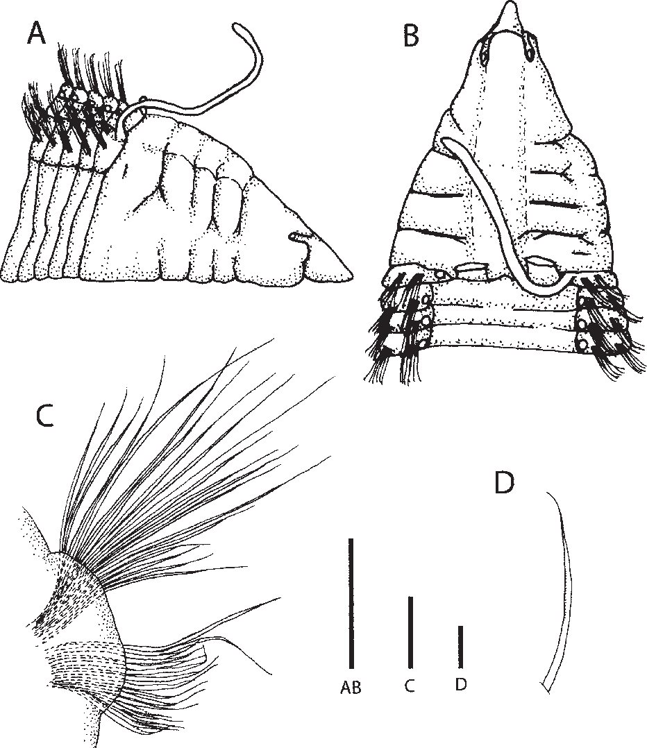 Figure 9 from Monticellina (Polychaeta: Cirratulidae) from