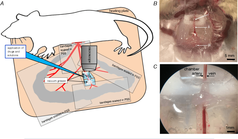 medium resolution of the experimental setup for functional intravital studies of rat mesenteric small artery a
