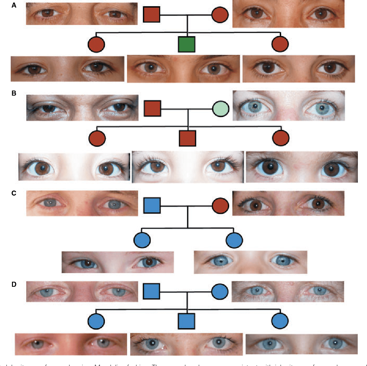 Figure 3 From Genetics Of Human Iris Colour And Patterns