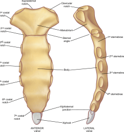 the parts of the sternum a from the anterior projection [ 1128 x 1178 Pixel ]