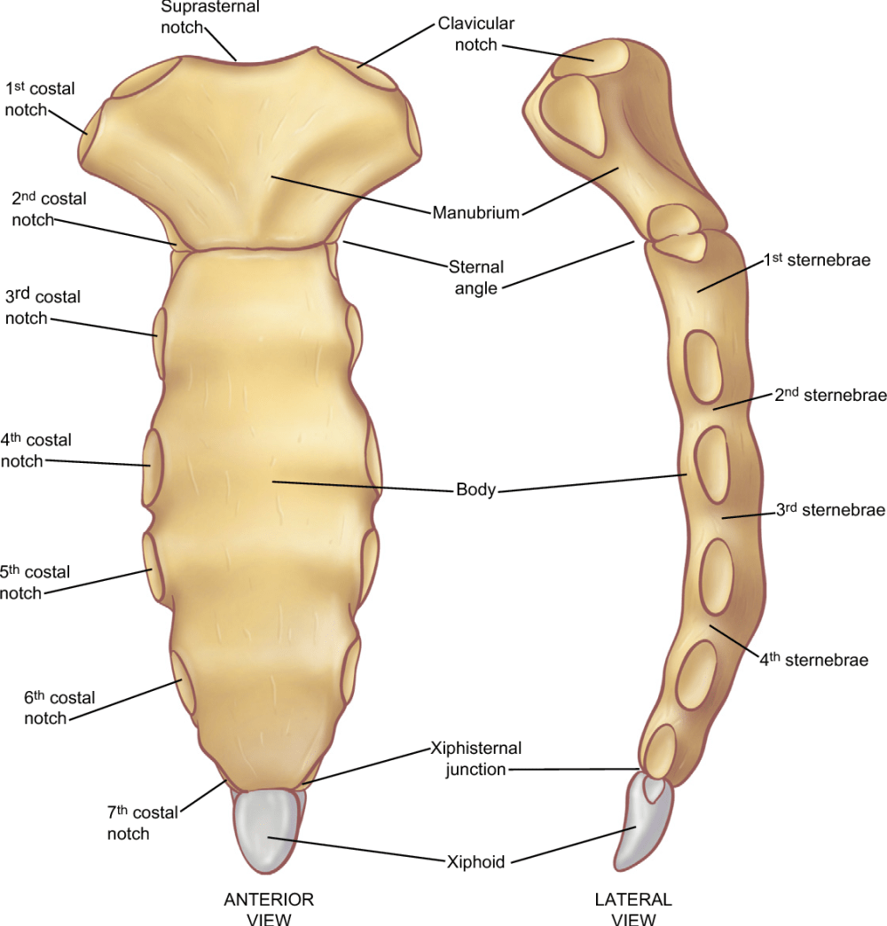 medium resolution of the parts of the sternum a from the anterior projection