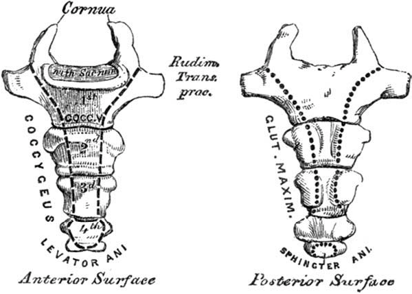 Figure 4 from Clinical anatomy of the coccyx: A systematic