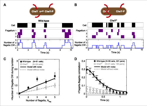 small resolution of tumbles in wild type cells involve multiple cw flagella a