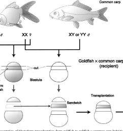 schematic representation of blastoderm transplantation from goldfish to goldfish common carp hybrid [ 1256 x 868 Pixel ]