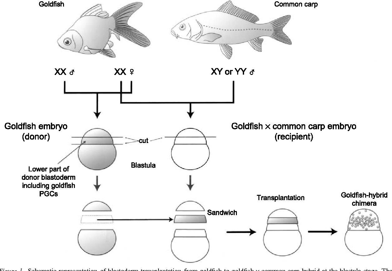 hight resolution of schematic representation of blastoderm transplantation from goldfish to goldfish common carp hybrid