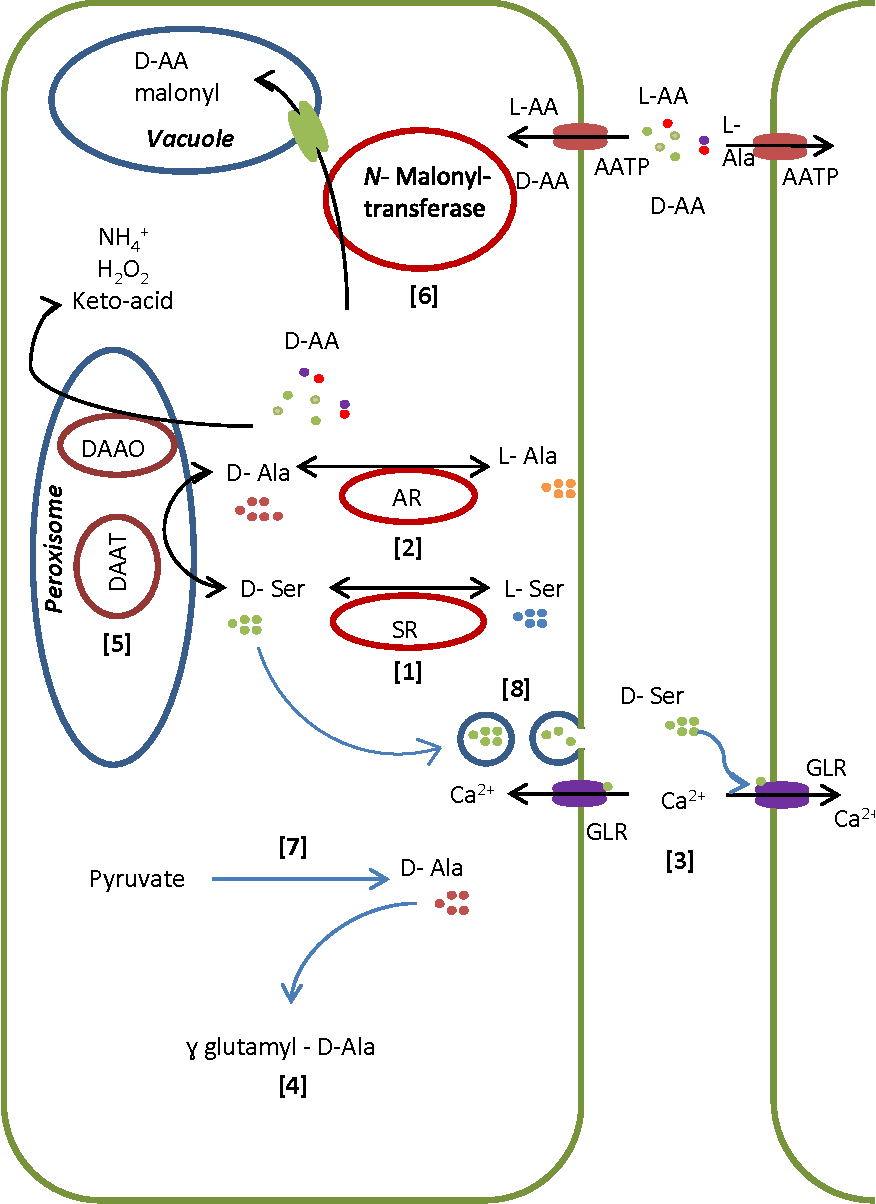 hight resolution of schematic model of d amino acid metabolism in plants based on