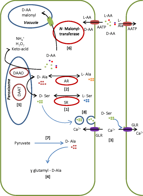 small resolution of schematic model of d amino acid metabolism in plants based on