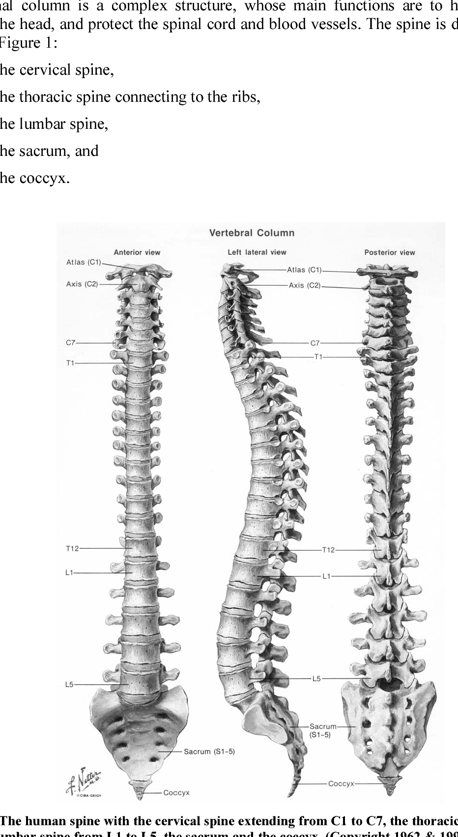 medium resolution of figure 1 the human spine with the cervical spine extending from c1 to c7