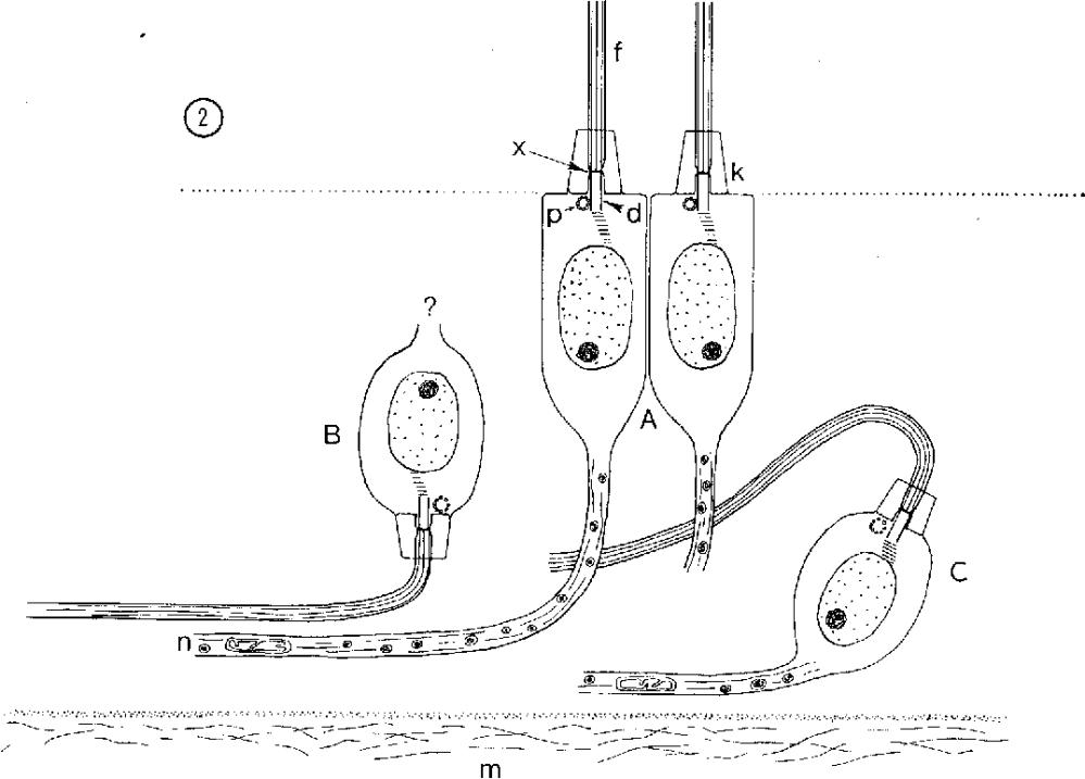medium resolution of diagram of the neuroepithelium of the subumbrellar sensory pit the usual