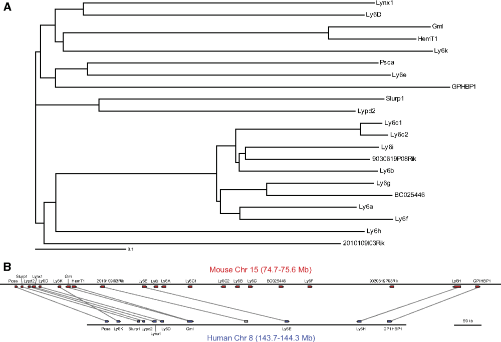 medium resolution of phylogenetic relationship between the mouse chromosome 15 cluster of ly6 proteins and their