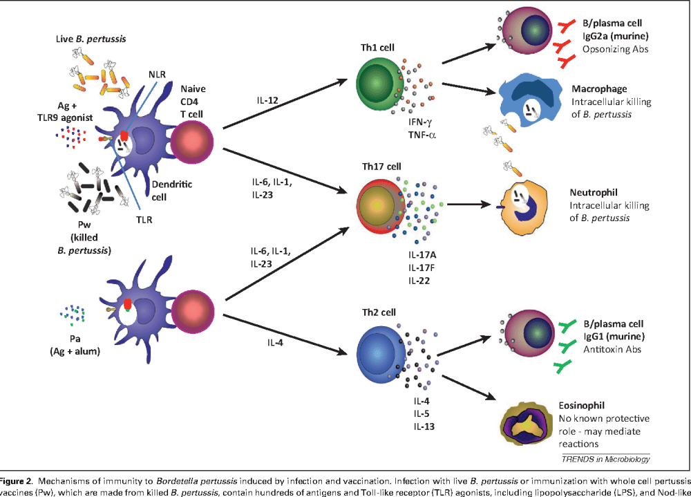 medium resolution of mechanisms of immunity to bordetella pertussis induced by infection and vaccination infection