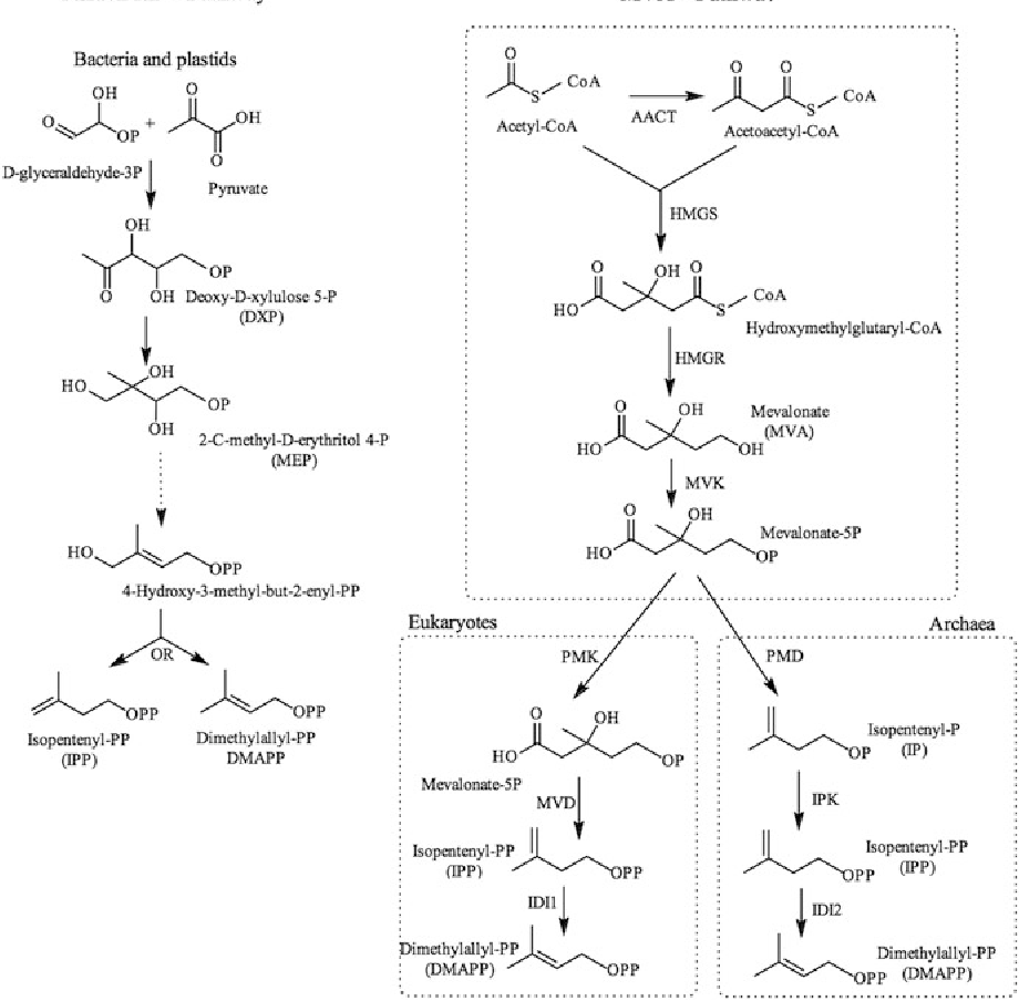medium resolution of fig 1 1 biosynthesis of isopentenyl pyrophosphate and dimethylallyl pyrophosphate schematic representations of the synthesis