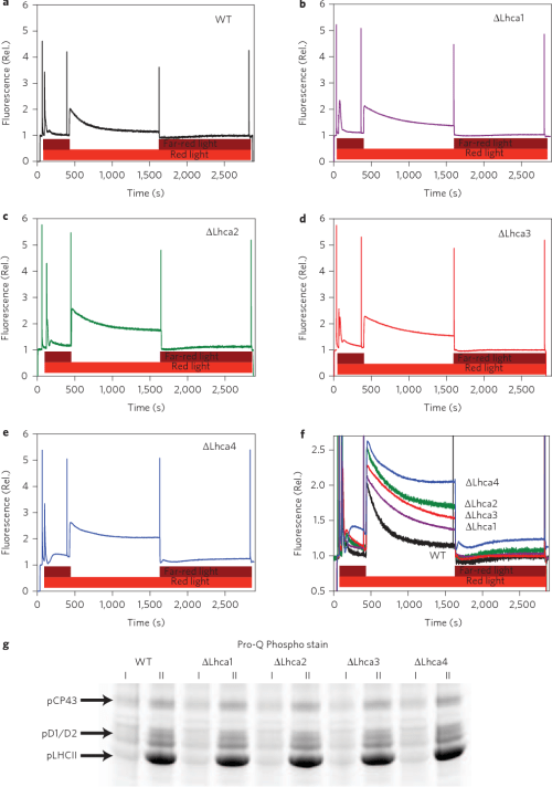 small resolution of figure 1 state transitions and thylakoid protein phosphorylation in wild type and lhca plants