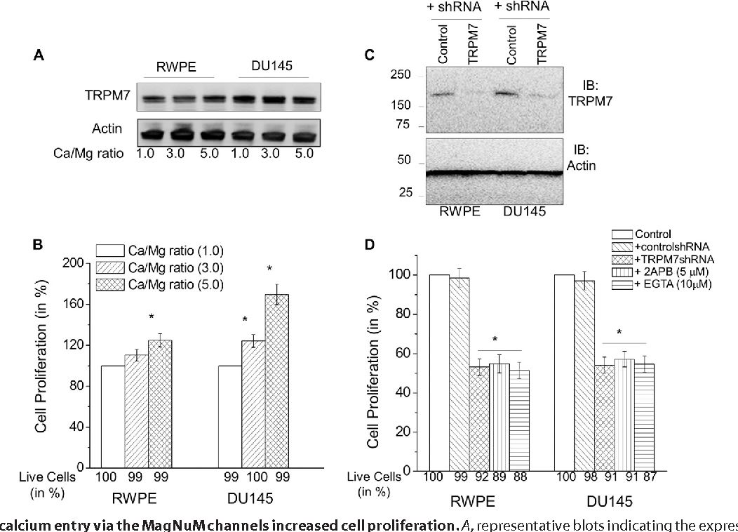 hight resolution of increased calcium entry via the magnum channels increased cell proliferation a