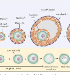 figure 1 stages of folliculogenesis and oocyte maturation primordial follicles consist of an immature [ 1382 x 754 Pixel ]
