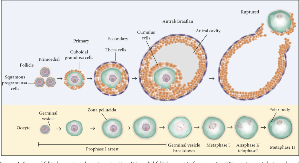 medium resolution of figure 1 stages of folliculogenesis and oocyte maturation primordial follicles consist of an immature