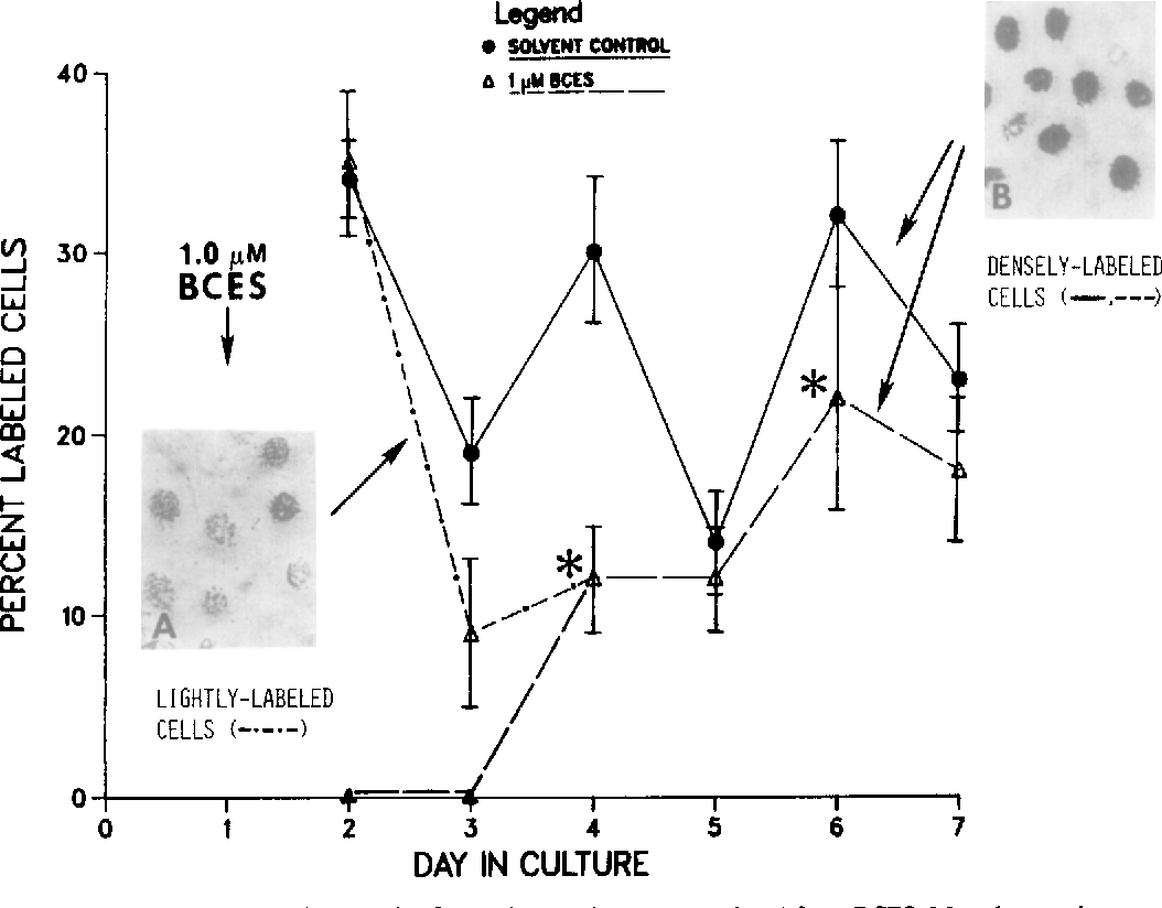 hight resolution of fig 5 autoradiographic analysis of monolayer cultures exposed to 1 o pm bces