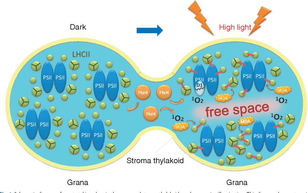 medium resolution of 4 schematic diagram of events taking place in the grana and stroma thylakoids under