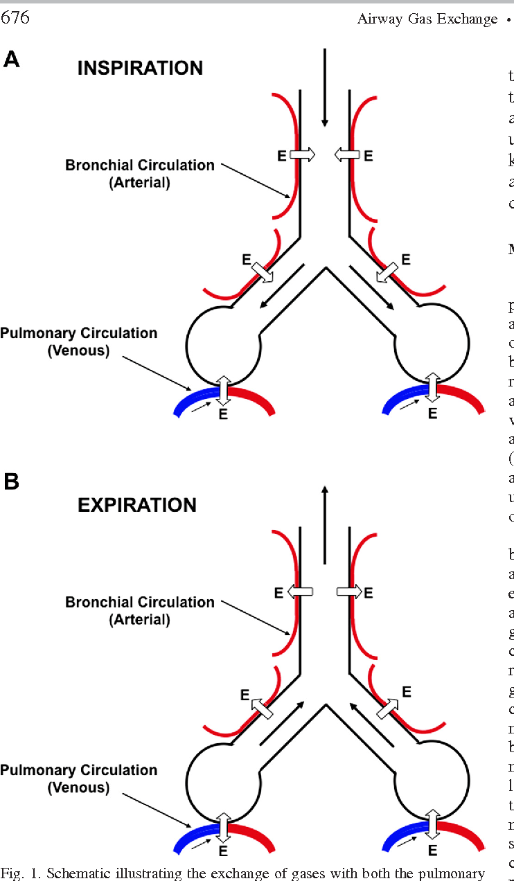 hight resolution of schematic illustrating the exchange of gases with both the pulmonary circulation in