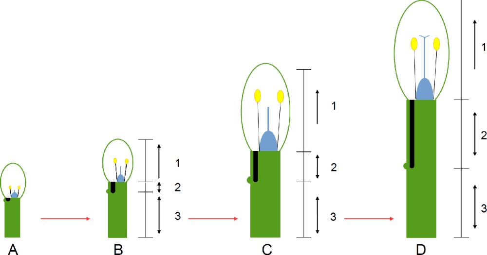 medium resolution of a diagram of how the nectar tube of pelargonium hypothetically develops