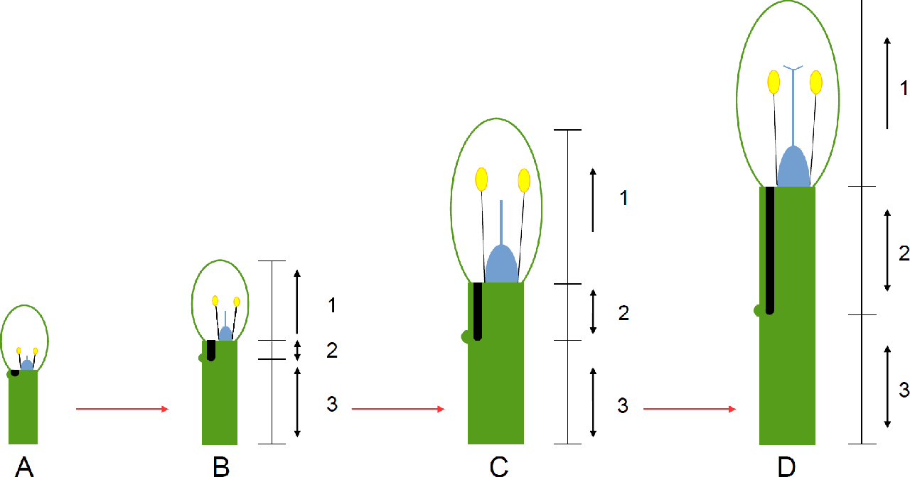 hight resolution of a diagram of how the nectar tube of pelargonium hypothetically develops