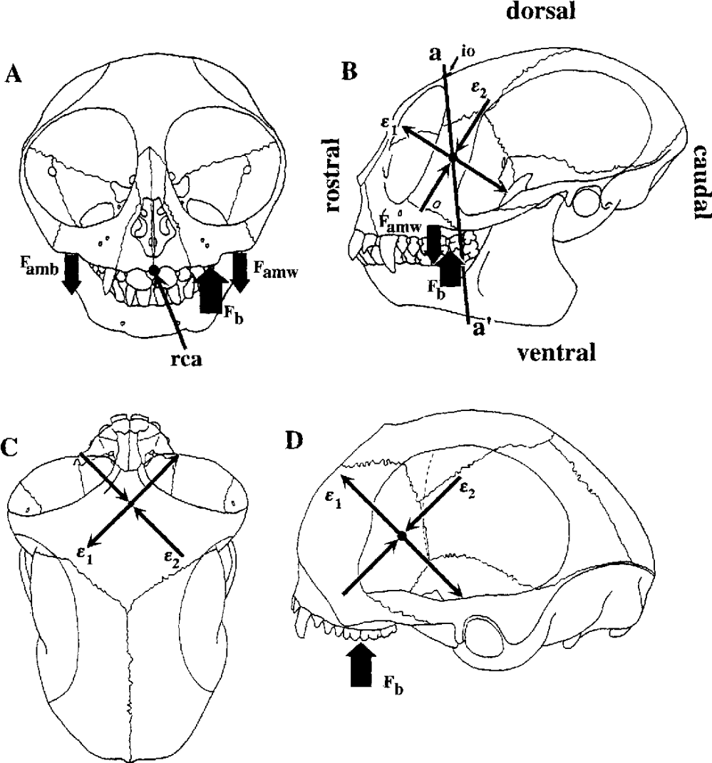 medium resolution of diagram illustrating patterns of strain predicted by the facial torsion hypothesis