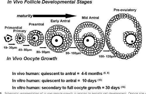 small resolution of a diagram of ovarian follicle