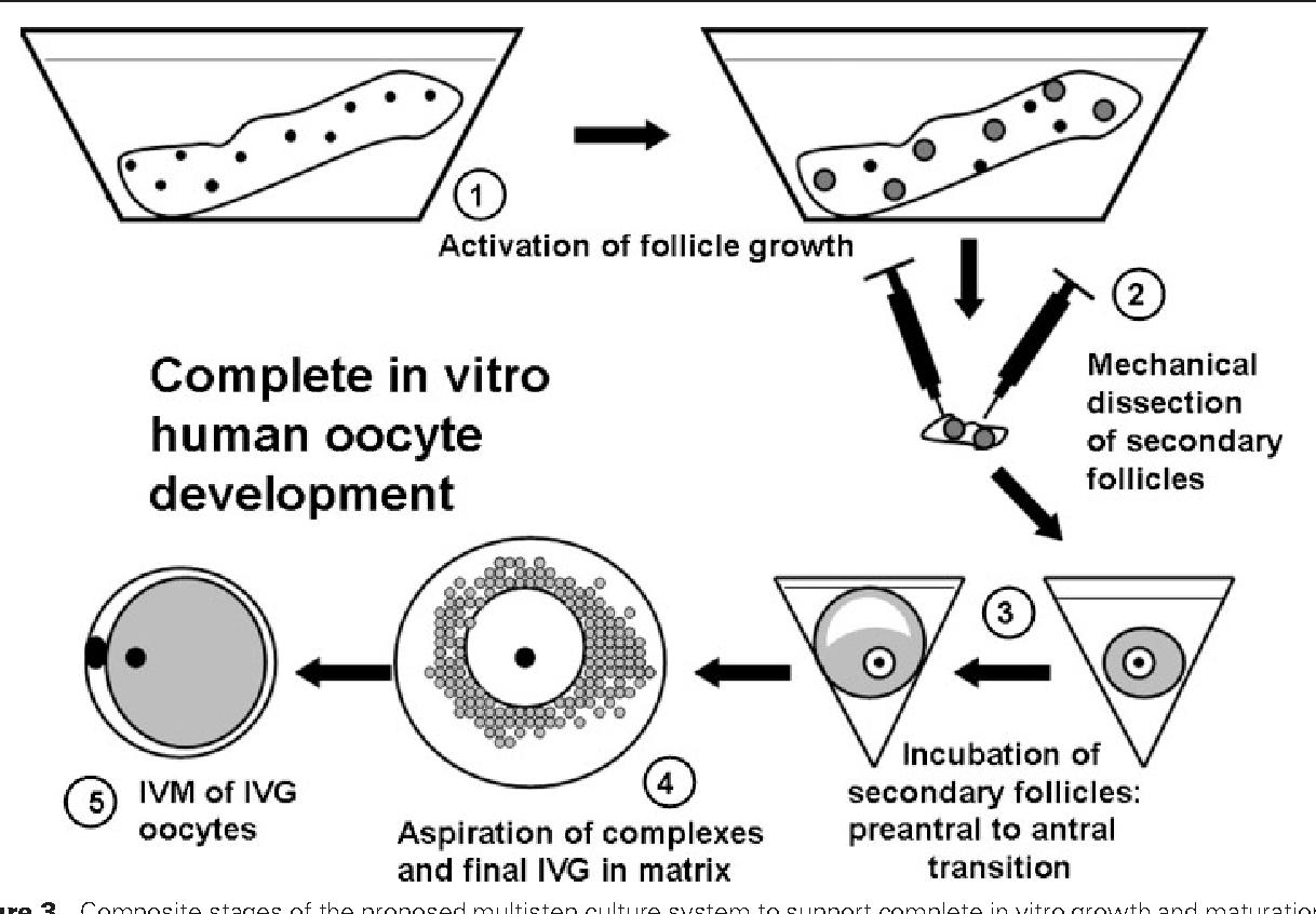 Figure 3 From In Vitro Development Of Ovarian Follicles