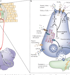figure 1 schematic diagram of a taste bud taste receptor cell and associated neurons [ 1408 x 970 Pixel ]