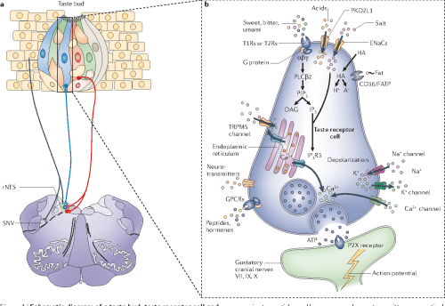 small resolution of figure 1 schematic diagram of a taste bud taste receptor cell and associated neurons