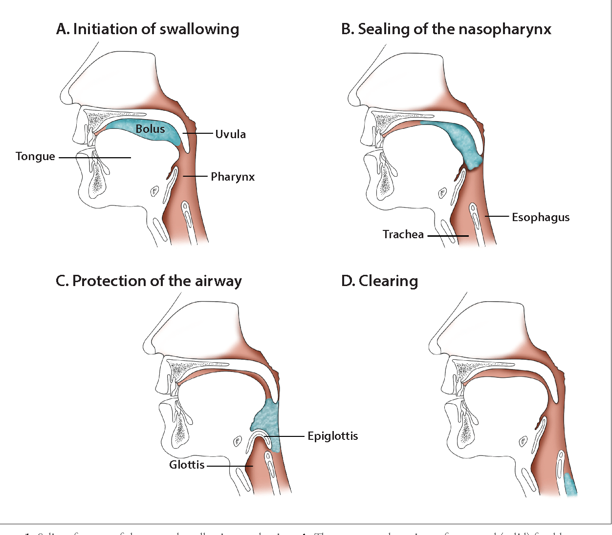 hight resolution of salient features of the normal swallowing mechanism a the transported portions
