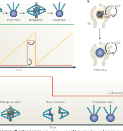 figure 3 examples of self organized cell cycle processes a in [ 1414 x 902 Pixel ]