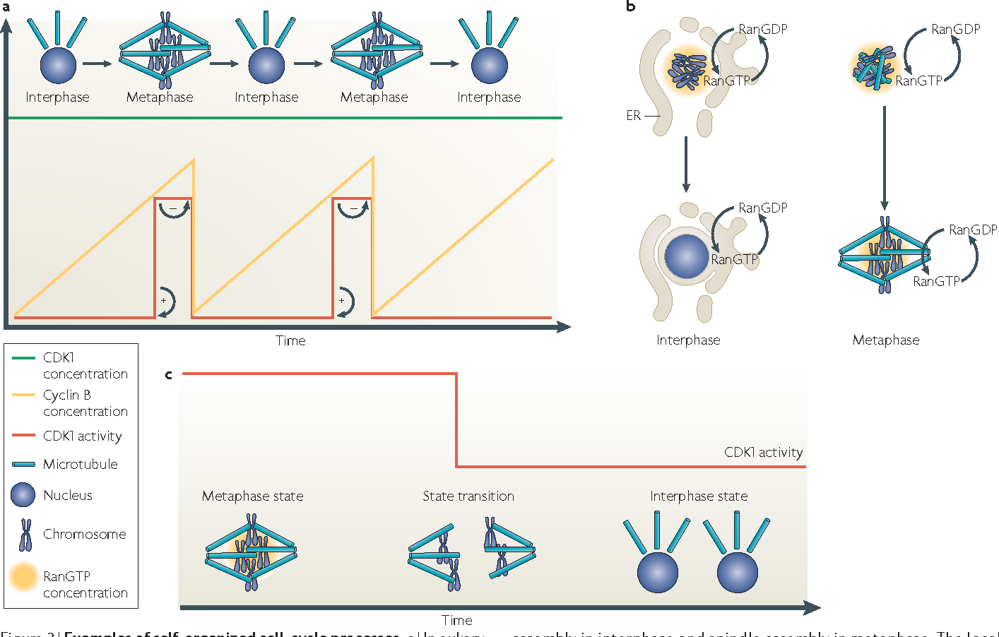 hight resolution of figure 3 examples of self organized cell cycle processes a in
