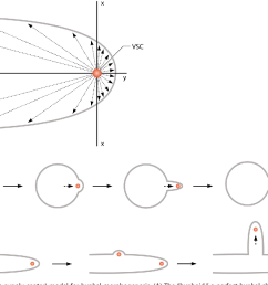 fig 1 vsc vesicle supply center model for hyphal morphogenesis a  [ 1100 x 840 Pixel ]